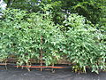Row of tomatoes - front view.jpg