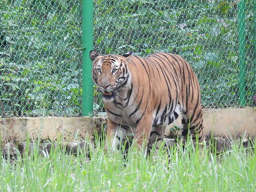 Royal Bengal Tiger Panthera tigris tigris by Dr. Raju Kasambe DSCN7888 (78)