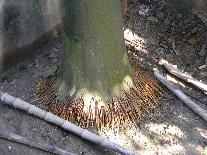 http://upload.wikimedia.org/wikipedia/commons/thumb/4/43/Royal_Palm_Roots.jpg/800px-Royal_Palm_Roots.jpg