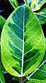 Rubber Plant (Ficus elastica) 2.jpg