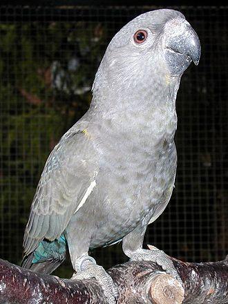 Rüppell's parrot - In captivity