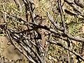 Rufous-crowned Sparrow Leslie Canyon NWR Douglas AZ 2017-11-24 12-26-28 (25207165698).jpg