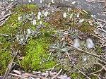 Ruhland, Grenzstr. 3, Frühlings-Hungerblümchen auf der Garagenausfahrt, Frühling, 03.jpg