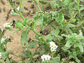 S. gregaria L1 hoppers in Heliotropium.jpg