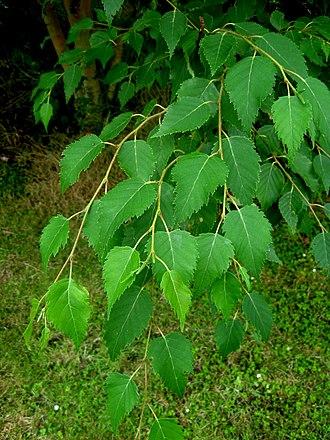 Betula grossa - Betula grossa foliage