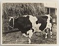 SLNSW 919814 Series 02 Cattle ca 19211924.jpg