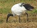 Sacred ibis in Tanzania 4177 cropped Nevit.jpg