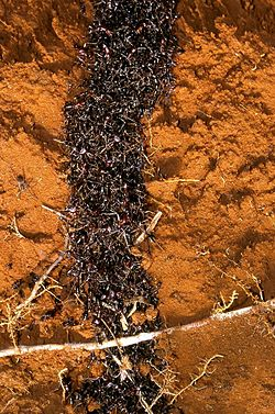 Safari ants tunnel.jpg