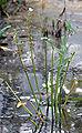 Sagittaria montevidensis (aka).jpg