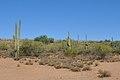 Saguaro Arizona Agosto 2011.jpg