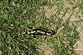 Salamander 02.JPG