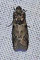 Salebriaria annulosella (14099252839).jpg