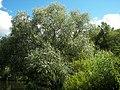 Salix alba 018.jpg