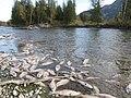Salmon run at Adams River 2010 (5074071969).jpg
