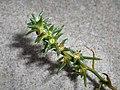 Salsola kali subsp. kali 2017-09-16 4085.jpg