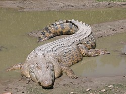 Saltwater Crocodile lounging in mud