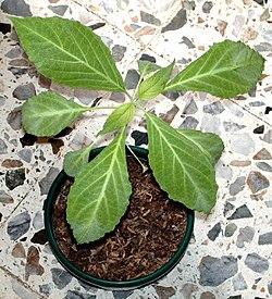 Salvia divinorum wikipedia la enciclopedia libre for La salvia en la cocina