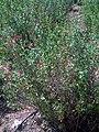Salvia grahamii Habitus DehesaBoyal.jpg
