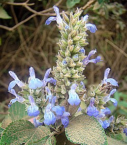 Salvia hispanica (10461546364).jpg