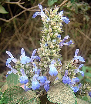 Salvia hispanica - Image: Salvia hispanica (10461546364)