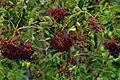 Sambucus nigra ssp canadensis 1120591.jpg