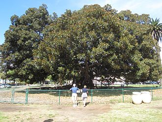Moreton Bay fig (Balboa Park) - The tree in 2016