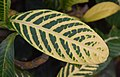 Sanchezia speciosa 01.jpg