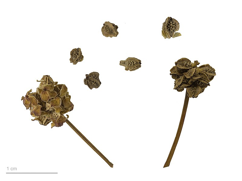 Файл:Sanguisorba minor MHNT.BOT.2007.40.139.jpg