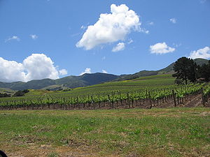 Santa Ynez Valley - A typical vineyard in the Santa Ynez Valley