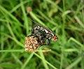 Sarcophagid Flies mating (49257323548).jpg