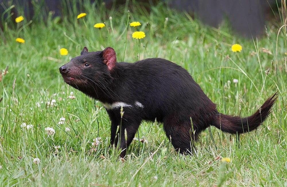 The average litter size of a Tasmanian devil is 2
