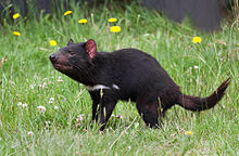 A Tasmanian devil with a white horizontal stripe under its neck, standing in scrub and dead leaves, with its jaw wide open and head tilted slightly upwards
