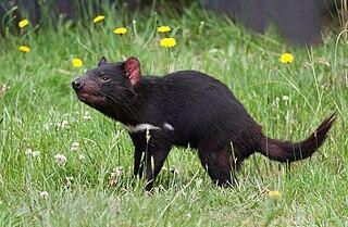 Tasmanian devil A carnivorous marsupial from Tasmania