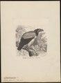 Sarcoramphus papa - 1700-1880 - Print - Iconographia Zoologica - Special Collections University of Amsterdam - UBA01 IZ18100107.tif
