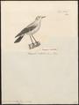 Saxicola pallida - 1700-1880 - Print - Iconographia Zoologica - Special Collections University of Amsterdam - UBA01 IZ16200298.tif