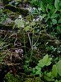 Saxifraga granulata 003.jpg