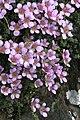Saxifraga oppositifolia. - geograph.org.uk - 375101.jpg
