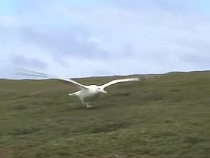 File:Scaling-of-Soaring-Seabirds-and-Implications-for-Flight-Abilities-of-Giant-Pterosaurs-pone.0005400.s005.ogv