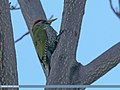 Scaly-bellied Woodpecker (Picus squamatus) (24546426640).jpg