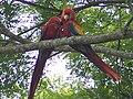 Scarlet Macaw 2.jpeg