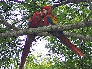 Scarlet macaws near Jaco, Costa Rica
