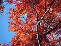 Scarlet Oak (31193582651).jpg
