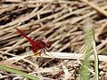 Scarlet Skimmer, male (10039985523).jpg