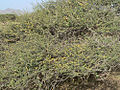 Schistocerca gregaria fledging L5 hoppers.jpg