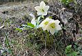 Schneerose - Helleborus niger.jpg