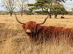 Schotse hooglanders (Highland Cow) beheren het gebied. Locatie, natuurgebied Delleboersterheide – Catspoele 02.jpg