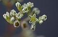 Scleranthus perennis inflorescence (08).jpg