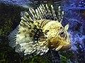 Scorpionfish1.jpg