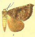 Scotorythra megalophylla-Fauna Hawaiiensis1899.PNG
