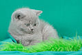Scottish fold- straight 04.JPG